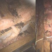 animal droppings in attic