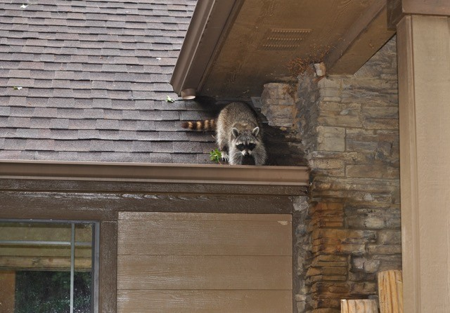 shutterstock-raccoon-on-roof