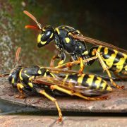 wasps nest removal exterminator