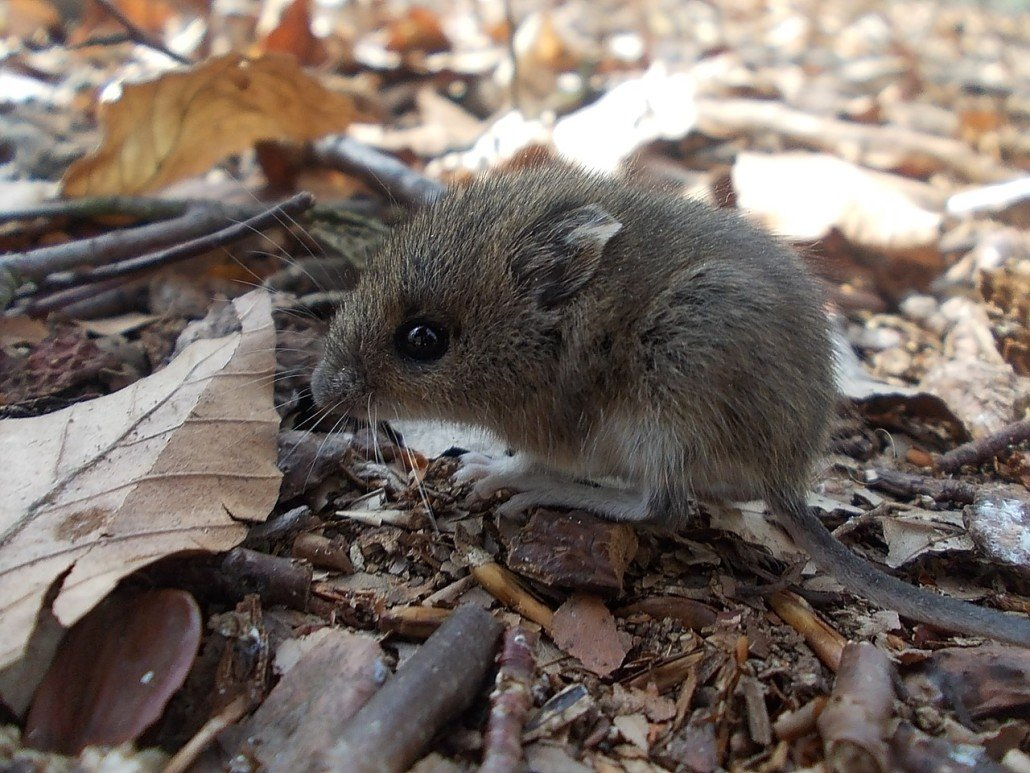 wood-mouse-823796_1280-1030x773