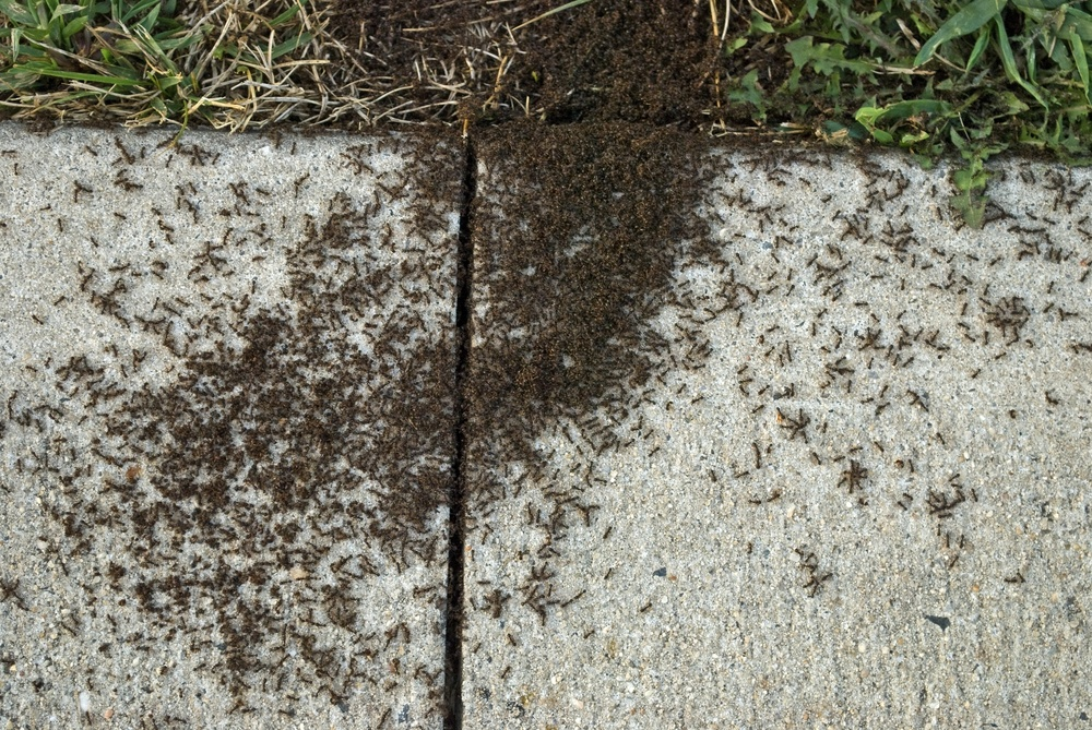 ant-pavement-infestation-001