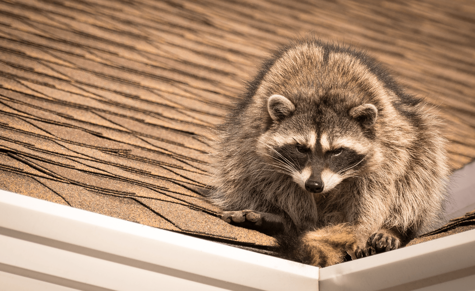 racoon pest control